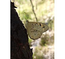 Common Brown Butterfly (Heteronympha merope) - Belair National Park, South Australia  Photographic Print