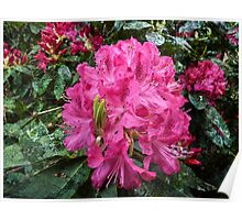 Rhododendron flower bloom with texture. Poster