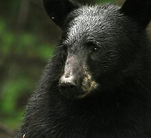 Black Bear Portrait by smalletphotos