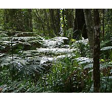 Sunkissed Ferns in the Bush Photographic Print