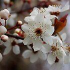 odd 8 petal cherry blossom by dedmanshootn