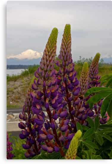 lupin and mt baker by dedmanshootn