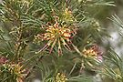 Grevillea Winpara Gold by Elaine Teague