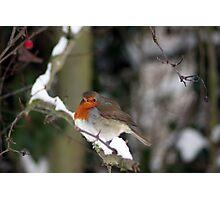 Robin  Photographic Print