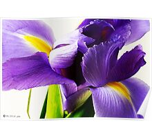 Purple Iris in Full Bloom Poster