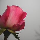 Mystery rose by Maria1606