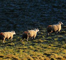 Three Sheep Walking by Karin  Funke
