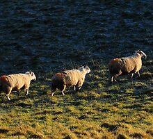 Three Sheep Walking by Karin  Funke