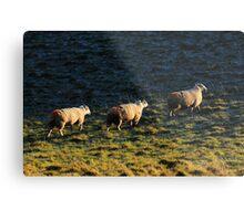 Three Sheep Walking Metal Print