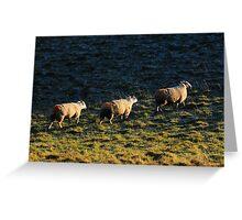 Three Sheep Walking Greeting Card
