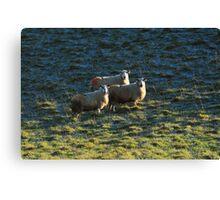 Sheep in the Burren Canvas Print