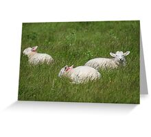 Three Lambs Greeting Card