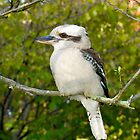 Kookaburra#5 by johnrf