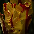 Red & Yellow Parrot Tulip by Lindie
