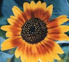 Ring of Fire Sunflower by Carlos Romero