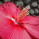 Hibiscus by karenfou
