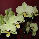 Green Phalaenopsis Orchid by karenfou