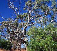 Gum tree by Joanne Emery