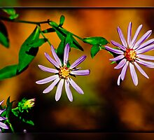 Aster 2 by Phillip M. Burrow