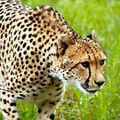 Cheetah Close Up by Sandra Chung