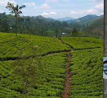 Head in a tea plantation, Hatton, Sri Lanka by Syd Winer
