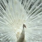 Albino Peacock by Christopher Herrfurth