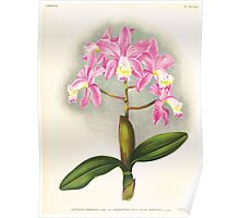 Iconagraphy of Orchids Iconographie des Orchidées Jean Jules Linden V17 1906 0150 Poster