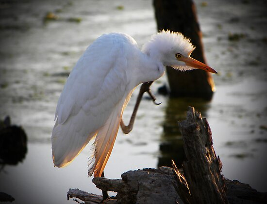 Cattle Egret by venny