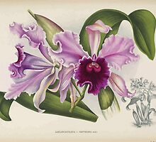 Iconagraphy of Orchids Iconographie des Orchidées Jean Jules Linden V14 1898 0156 by wetdryvac