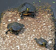 Sunning Turtles by RebeccaBlackman