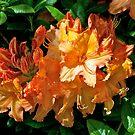 Dunedin Botanical Garden: Mollis Azalea by johnrf