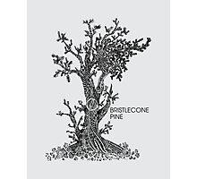 Bristlecone Pine Sketch Photographic Print
