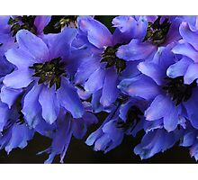 Pacific Giant Black Knight Delphinium! Photographic Print