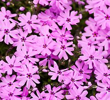 Pink Phlox by Christina Rollo