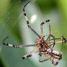 Spider Sex by aussiecreatures