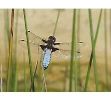 CHASER DRAGONFLY Photographic Print