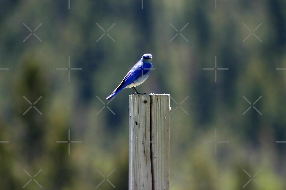 Mountain Bluebird by Alyce Taylor
