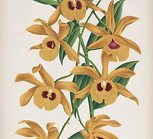 Iconagraphy of Orchids Iconographie des Orchidées Jean Jules Linden V16 1900 0054 by wetdryvac
