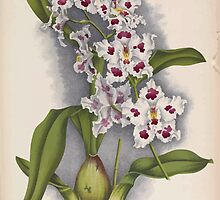 Iconagraphy of Orchids Iconographie des Orchidées Jean Jules Linden V14 1898 0172 by wetdryvac