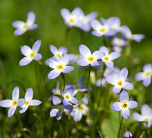 Country Wildflowers by Christina Rollo