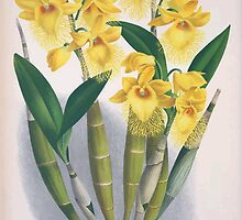 Iconagraphy of Orchids Iconographie des Orchidées Jean Jules Linden V4 1888 0166 by wetdryvac