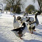 Geese at the Frozen Horninglow Basin by Rod Johnson