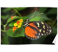 On Flower Hecale Longwing - Heliconius hecale zuleika Poster