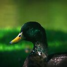 The Mallard by Scott Ruhs