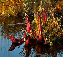 Killarney: Pitcher Plants, Balsam Lake by Skye Hohmann