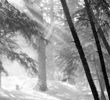 Sunlight on Falling Snow and Trees by John  Harmon