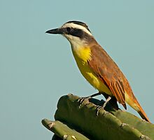 Adult Great Kiskadee by Robert Abraham