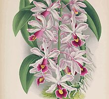 Iconagraphy of Orchids Iconographie des Orchidées Jean Jules Linden V16 1900 0042 by wetdryvac