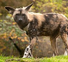 African hunting dog by Grandalf