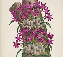 Iconagraphy of Orchids Iconographie des Orchidées Jean Jules Linden V15 1899 0114 by wetdryvac